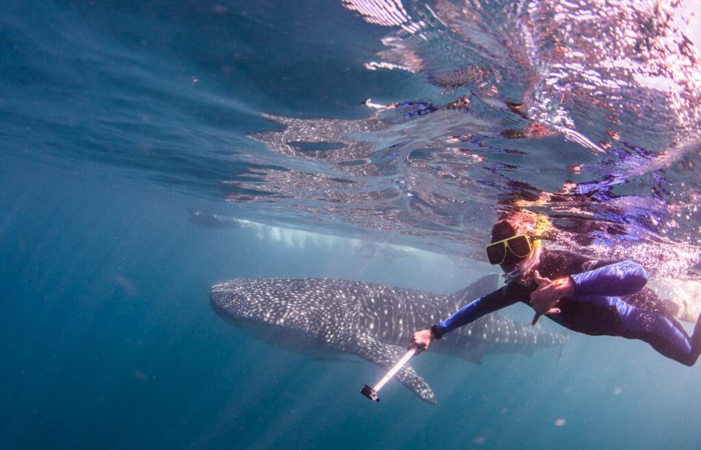 Requin Baleine à Coral Bay, WA