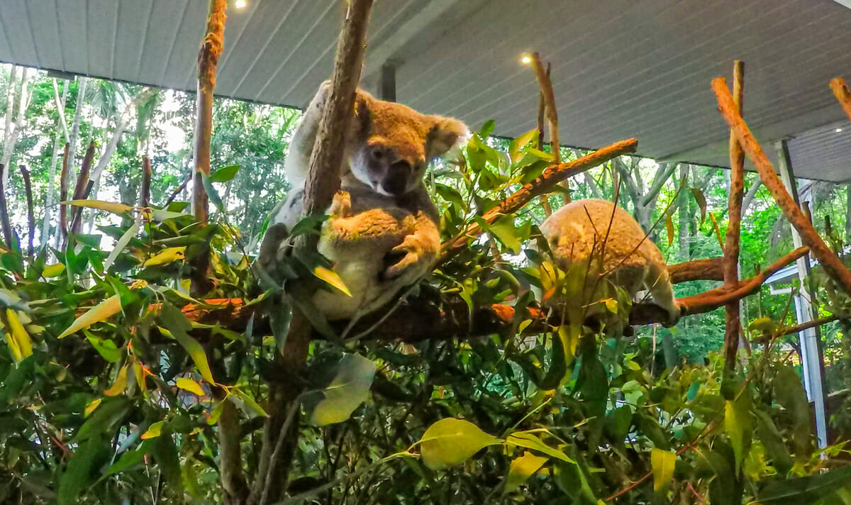 Cote Est Australie Koala Lone brisbane