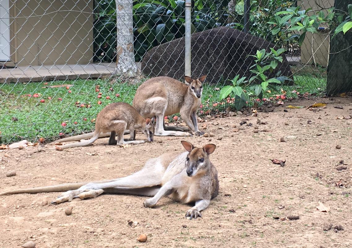 Trouver du travail en australie wallabies