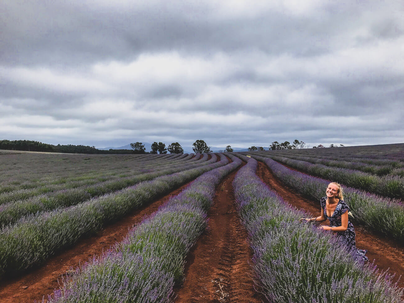 champs de lavande de Bridestowe